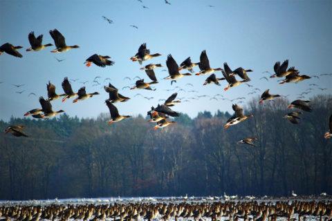 Wandeling tussen duizenden ganzen in Waterland