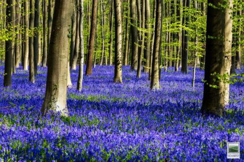 Niet missen dit jaar: het lentesprookje van het Hallerbos