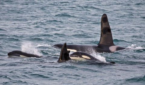 Europa's orka hotspot: honderden orka's bij elkaar