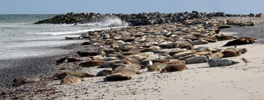 Honderden zeehonden op Düne (foto Oliver, flickr)