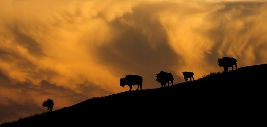 Buffalo's op de heuvels (foto South Dakota)
