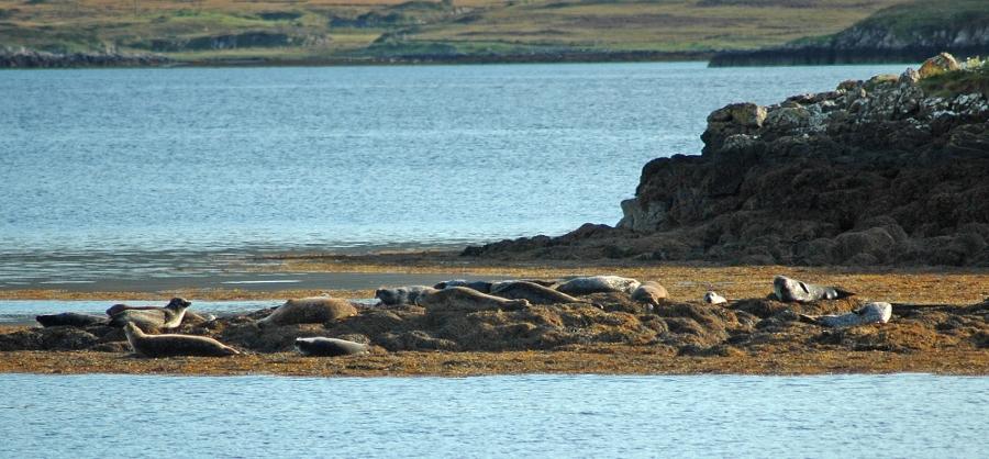 De zeehonden van Loch Dunvegan (foto Thorny Pup)