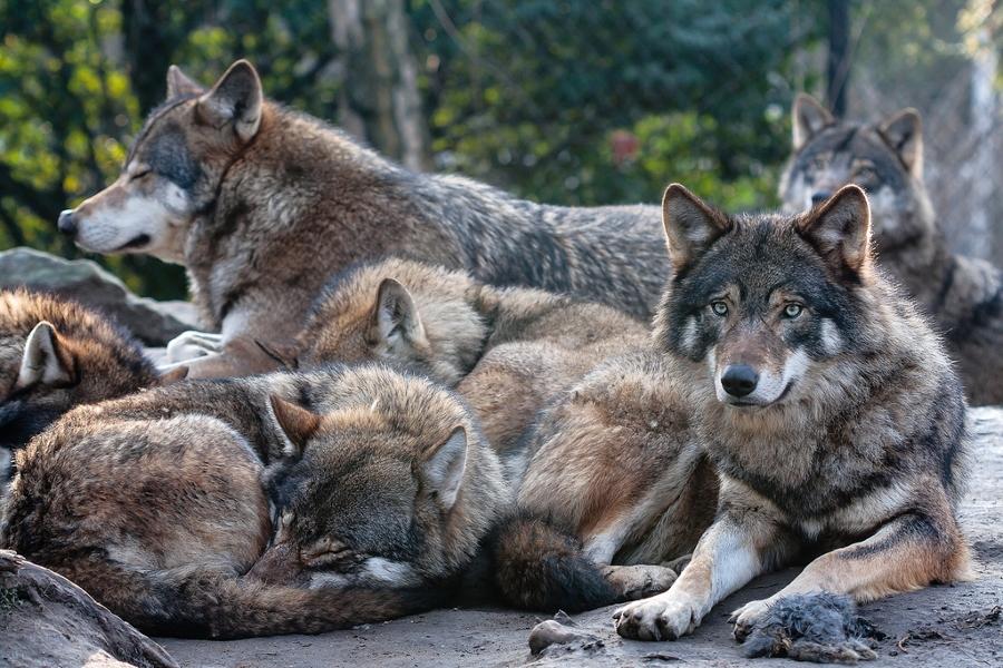 Afbeeldingsresultaat voor slapen als een wolf