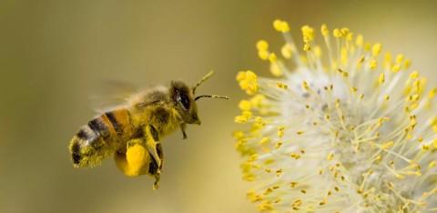 Wist je dat er zonder bijen geen wijn was?