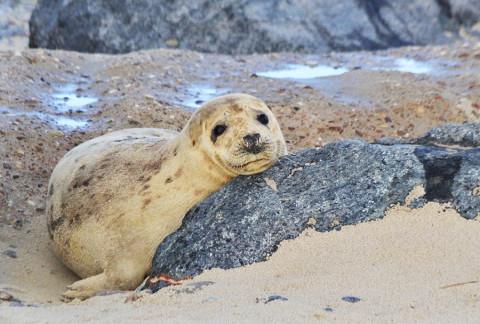 Een strandwandeling tussen 300 baby zeehondjes