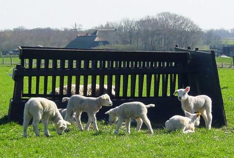 22 april: 'n Echte lammetjestocht maak je natuurlijk op Texel