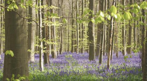 Niet missen dit voorjaar: het lentesprookje van het Hallerbos