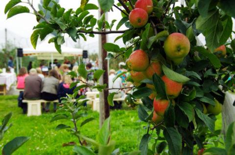31 aug: Fruitwandelen en Fruitfietsen in land van Maas en Waal
