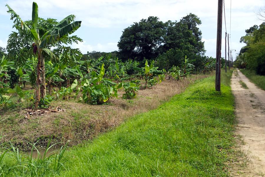 Suriname-4-plantage