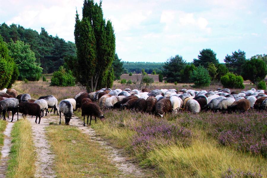 heidschnukenweg-schapen,-Hajotthu,-Wikimedia