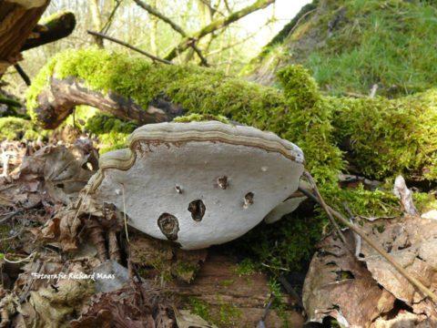 Een jong bos vol wielewalen en paddenstoelen