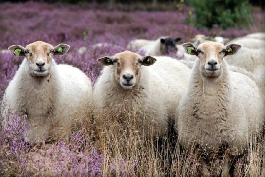 Foto: Stichting Schaapskudde Groote Heide