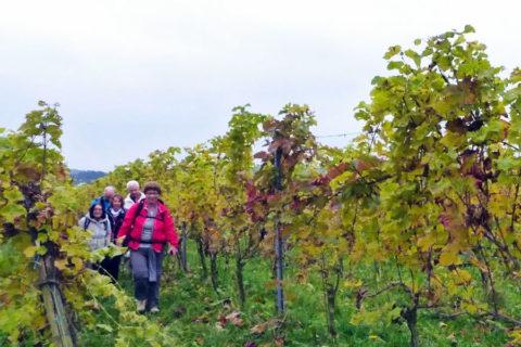WijnWandeling Groesbeek verkozen tot Mooiste wandeling 2019