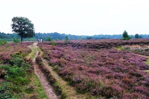 7 sept: Midden-Drenthe Wandeltocht Dwingelderveld
