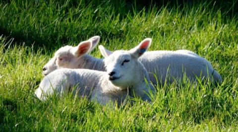 Wandelen of fietsen langs de twee beroemdste schapenrassen van Nederland